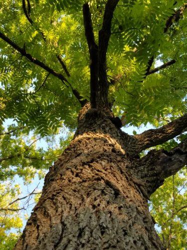 plant-communication-walnut-tree